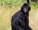 black faced spider monkey by TheScratcher