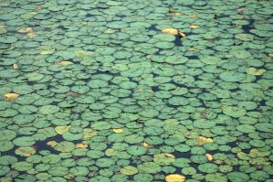 lots of lilypads by LucieG-Stock