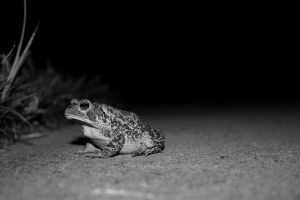 the fowler toad by bobbyfufu