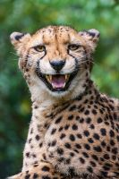 What does the Cheetah say? by darkSoul4Life