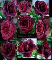 Water Droplets Rose Stock 3 by Melyssah6-Stock