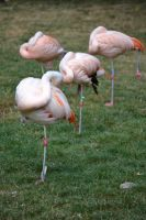 Zoo Halle - Pennende Flamingos by Kysan