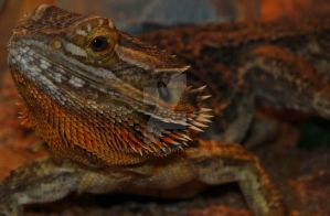 Bearded Dragon Waiting by nEopol
