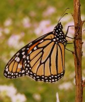 Male Monarch by PaganFireSnake