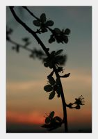 blossom silhouettes.. by maggymay