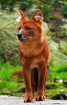 Dhole10 by TheMysticWolf