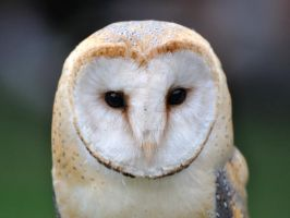 Barn Owl by hoodoo