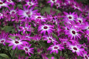 Hybrid Cineraria by CASPER1830