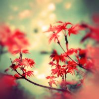 Autumn Maples by EmiNguyen