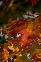 Autumn Leaves by David-A-Wagner