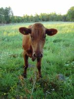 cow_by akinna-stock by akinna-stock