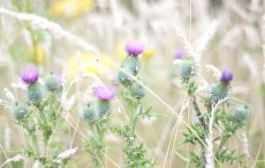Thistles stock by Quinnphotostock