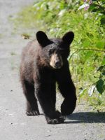 Black Bear Cub Stock 1 by prints-of-stock
