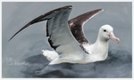 Albatross Study by PeachyKat