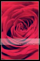 Red Rose by Deadly-Tea-Party
