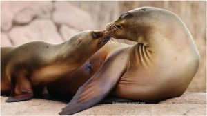 008- Sea lion mother and baby by SilkenWinds