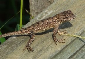 Eastern Fence Lizard. by duggiehoo