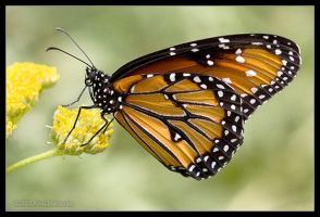 Monarch by AlexCphoto