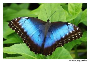 Blue Morpho by Tazzy-