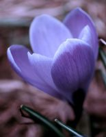 Weird crocus by crimsonpenguin