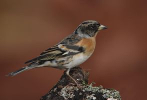 A coat of many colours - Brambling by Jamie-MacArthur