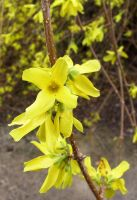 Yellow Vine Flowers by Falln-Stock