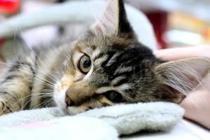 Maine Coon 2 by Rynvord