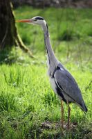 Great blue heron by Sabbie89