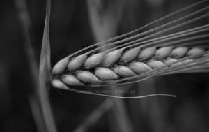 Wheat Monochrome by DeepW1thin