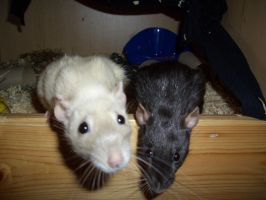 Ratties by PsyLady