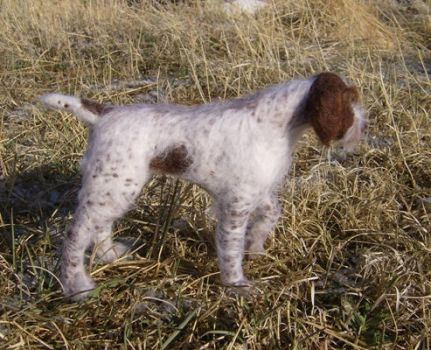 Wooliture German WirehairB by RoseThistleArtworks