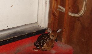 Baby deer in my house! by nunheh