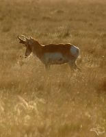 Pronghorn Peace by Korppi-Clicks
