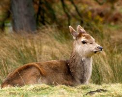 Young deer hind by piglet365
