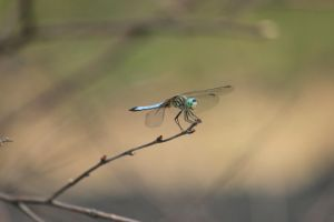 blue dragonfly by Laur720