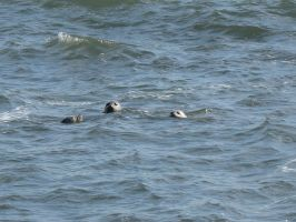 Harbor Seals by findmeaname