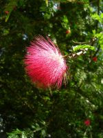 Red Powderpuff Flower by JennHolton
