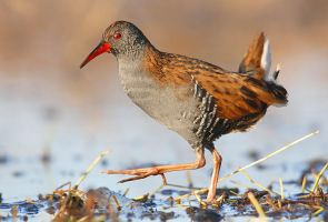 Water Rail Porciglione by FrancoBorsiWildLife
