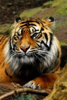 Sumatran Tiger by Shadow-and-Flame-86