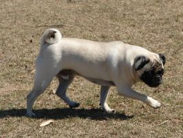 Prancing Little Pug Dog by FantasyStock