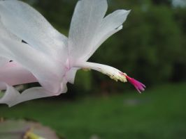 Christmas Cactus in May by Geak-of-Nature