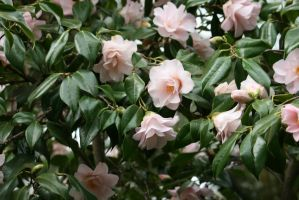 view to camellias 10 by ingeline-art