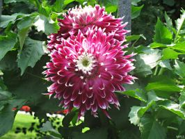 Dahlia Purple and White by MartyPunk13