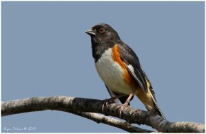 Eastern Towhee by Ryser915
