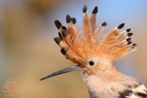 Hoopoe 2 by ahmedalali