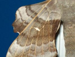 The Laothoe Populi Moth Taken In The Scrapyard 16 by Pho-TasticMathew