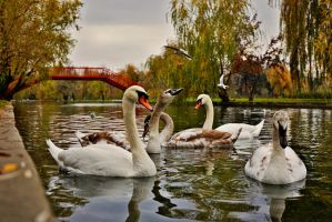 Autumn with swans by nicubunu