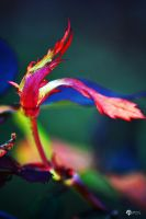 Early Rose 002 by Philatx