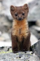 Pine Marten by Canis-Simensis