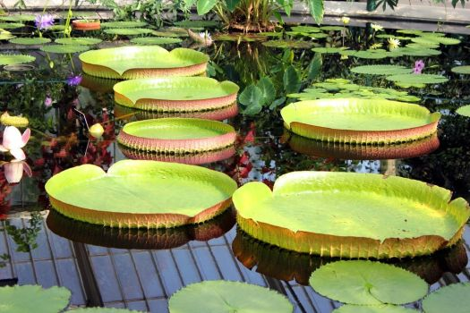 Inspiring Waterlily Leaves by aegiandyad